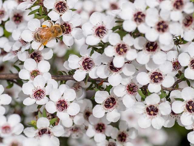 マヌカの花