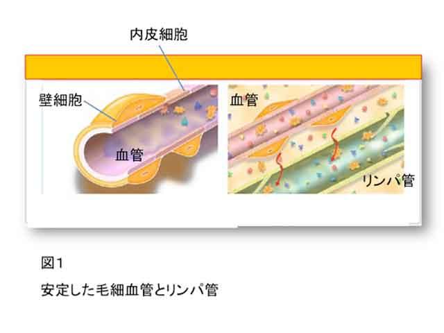 安定した毛細血管とリンパ管