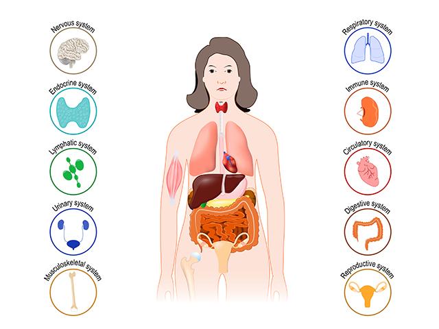 人間の体の臓器