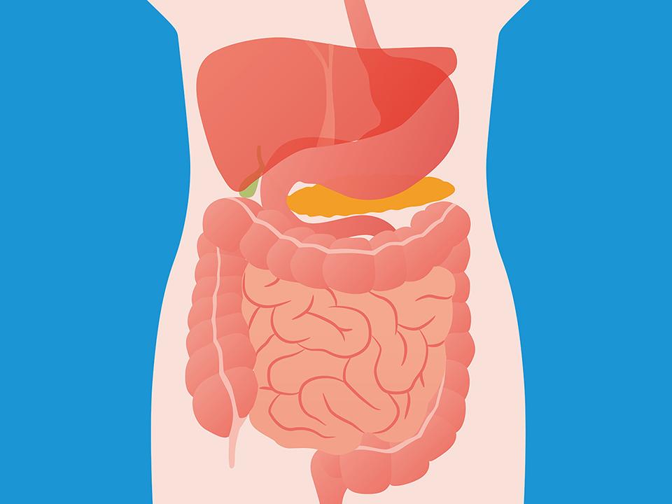 大腸の解剖図