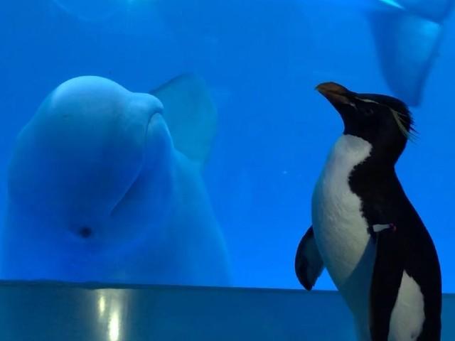 シロイルカとペンギン