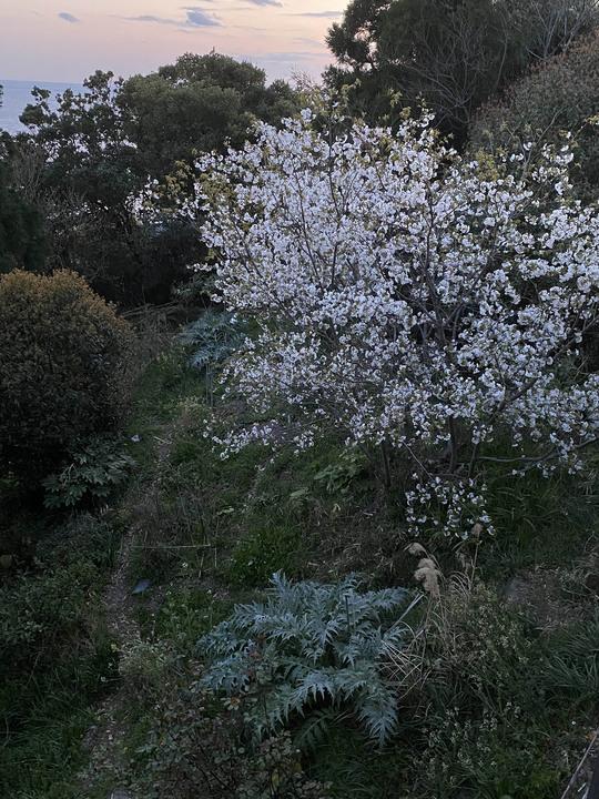 21.03.23_bc_02sakura