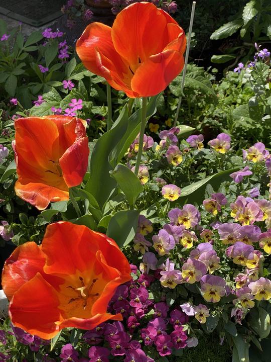 21.04.19_a_tulip