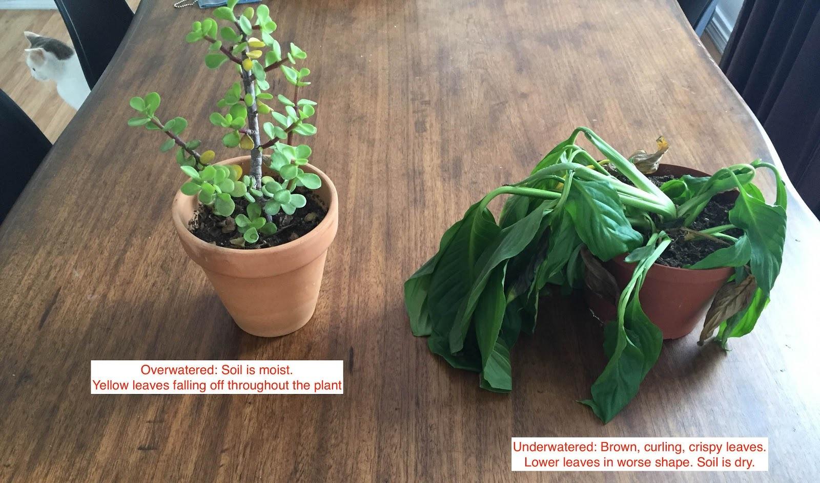 サボテンを枯らしてしまう人でもわかるほど簡単な、観葉植物を枯らさないための方法をご紹介します。水のあげ方、土選び、置き場所など、本格的なティップスであなたのグリーンを元気づけましょう1