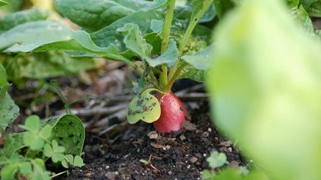 「すぐ枯らしてしまう」性格なためなかなか家庭菜園を続けられない人のための、育てやすい野菜と、その詳しい育て方をご紹介。レタスなどの葉野菜、トマト、キュウリ、ニンジン、カブ、ラディッシュ、サヤインゲン、ズッキーニなど。これさえ読めば、家庭菜園マスターになれるでしょう。5