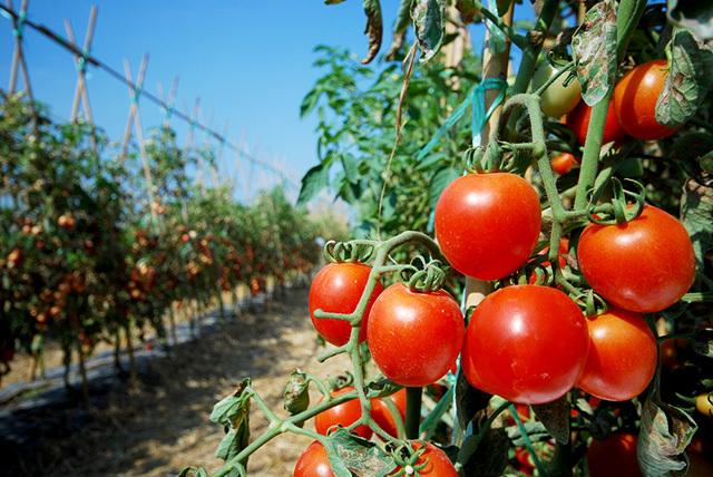 キュウリ、ピーマン、ナス、トマト、トウモロコシをおいしく食べるために最適な下ごしらえ方法をご紹介。複雑な手順はなく、ほんの少しの一手間で、いつもよりおいしく夏野菜を食べることができるんですよ。4