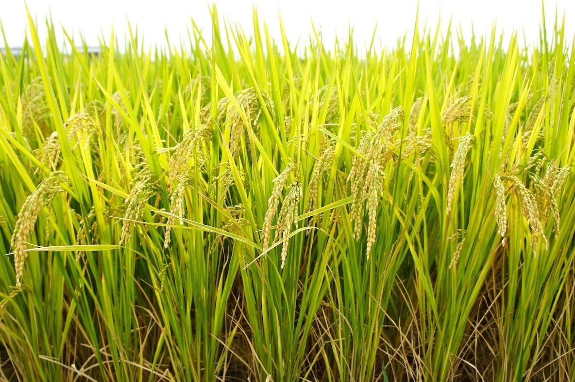 米は、日本の主食。米を日本における食のアイデンティティーととらえ、日本の風土や食文化を様々な視点で取り上げるフードカルチャーマガジン『RiCE(ライス)』が2016年秋に創刊。二階堂ふみさん、眠夢ねむさん、坂口健太郎さん、蜷川実花さん、吉本ばななさん、DJみそしるとMCごはんなどそうそうたる顔ぶれ。10