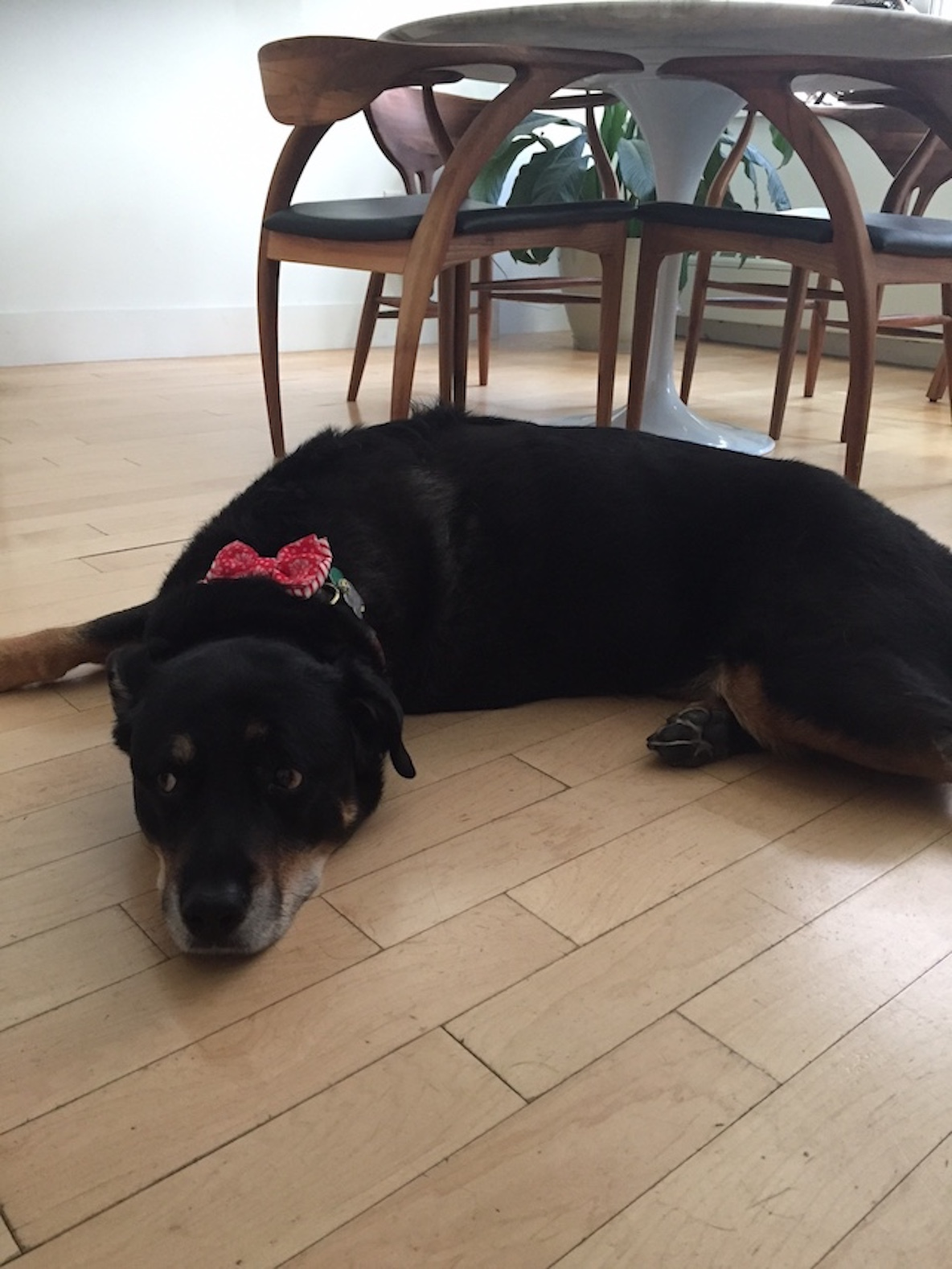 黒い愛犬のnico
