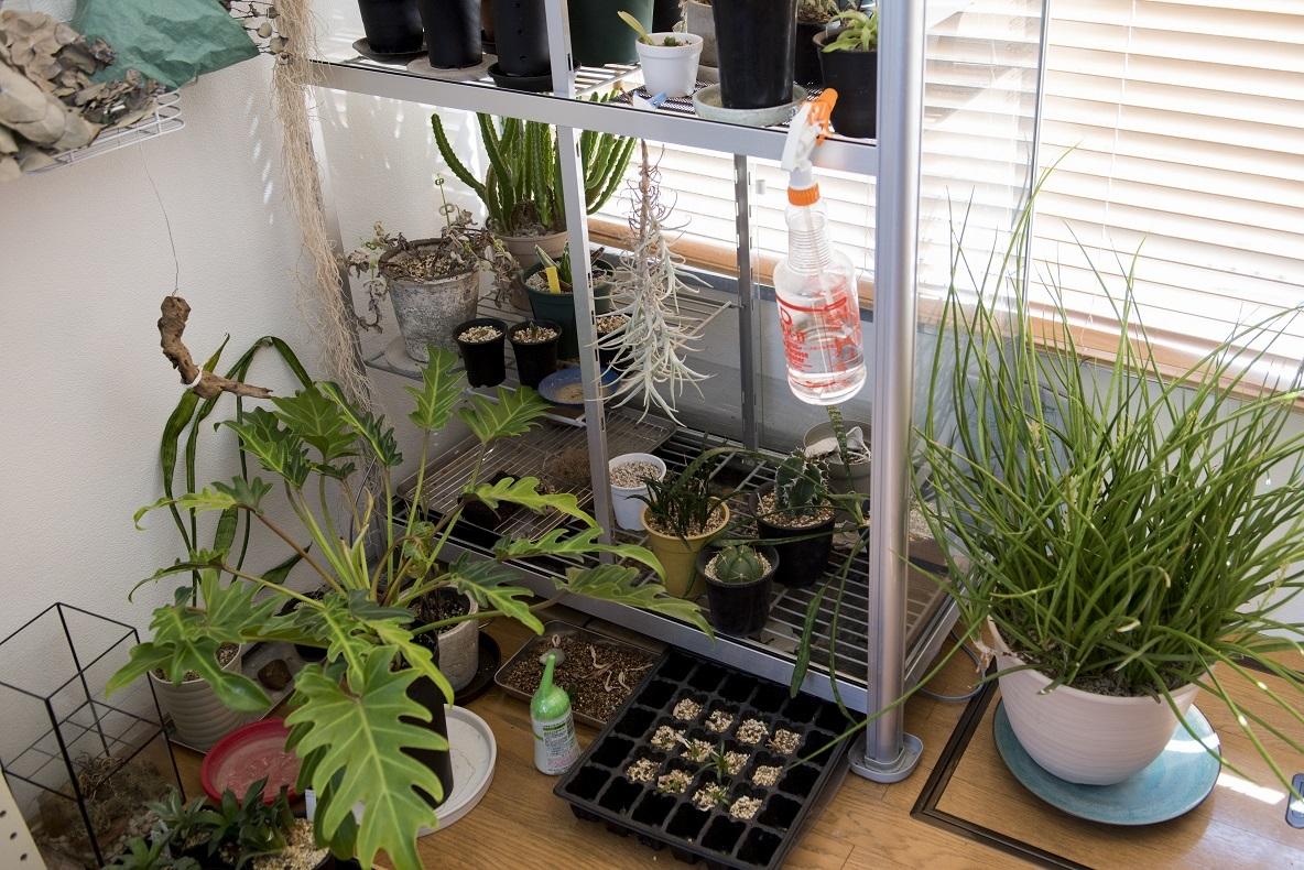 温室にもなるという棚に並べたり、受け皿を下に置いたり、移動しなくてもそのままの状態で水やりができるようにしている