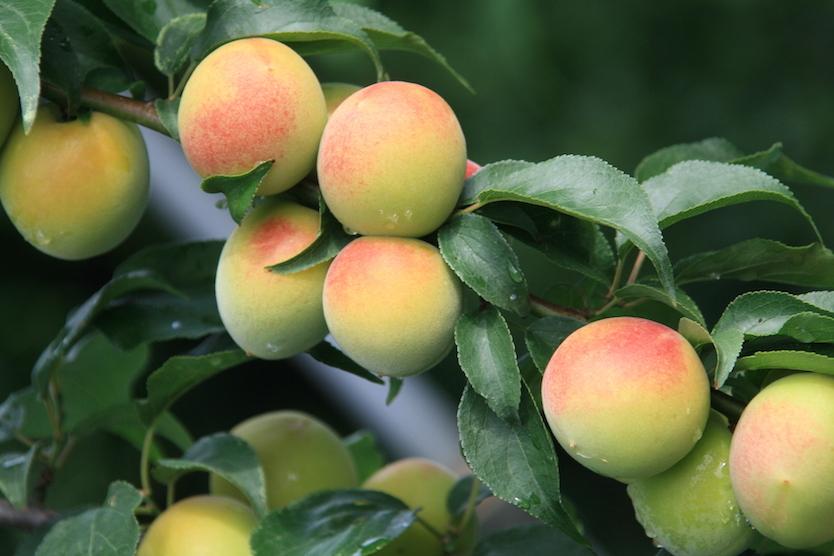 梅の産地と言えば和歌山