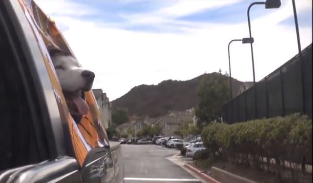 ドライブ中に風を感じる「顔出し犬」を守るアイテム