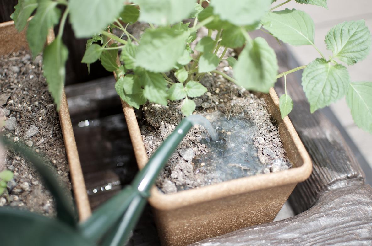殺虫剤「ダントツ水溶剤」を観葉植物に使っている様子