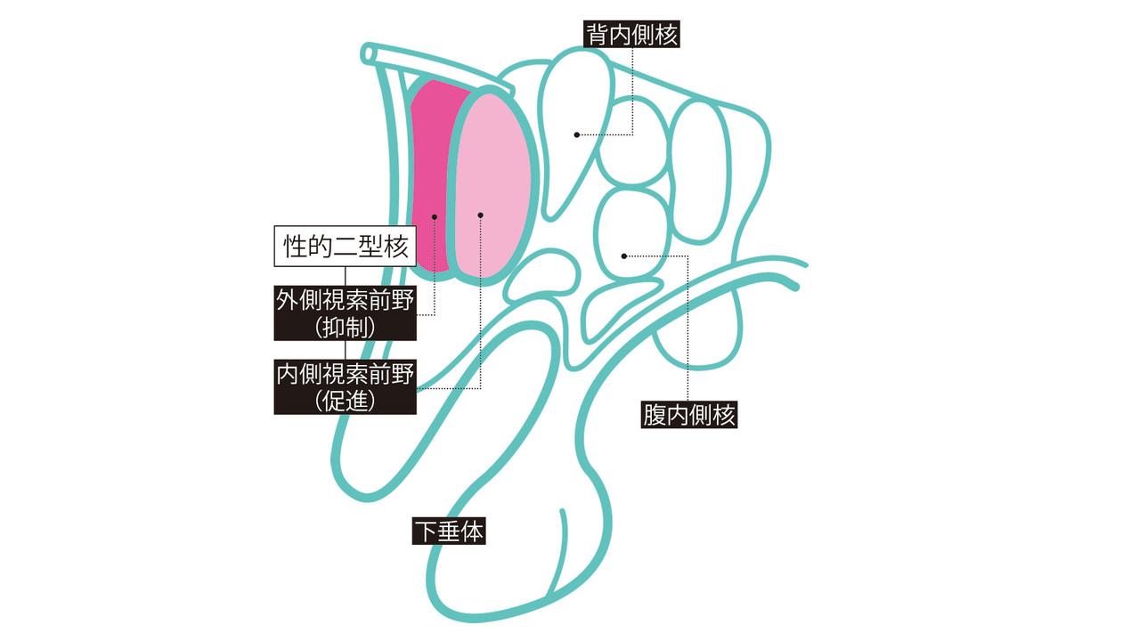 性欲中枢の正体は 視床下部にある 性的二型核。