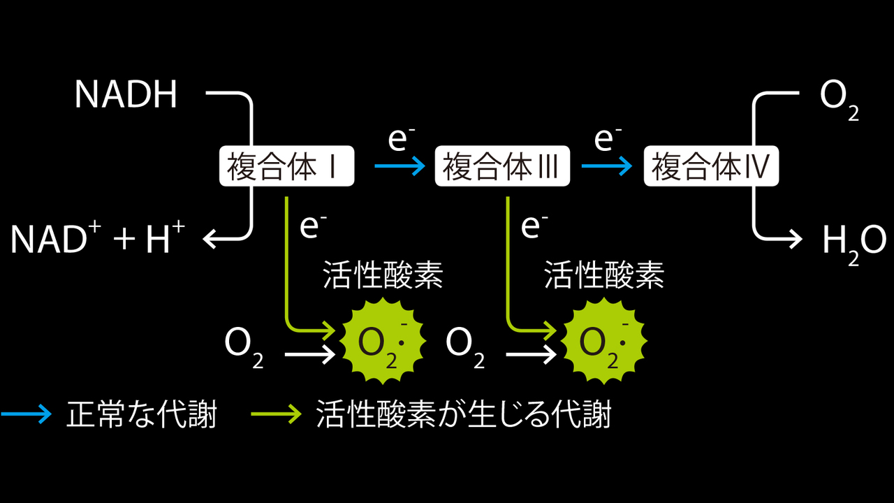 電子伝達系のプロセスで活性酸素が生じる。