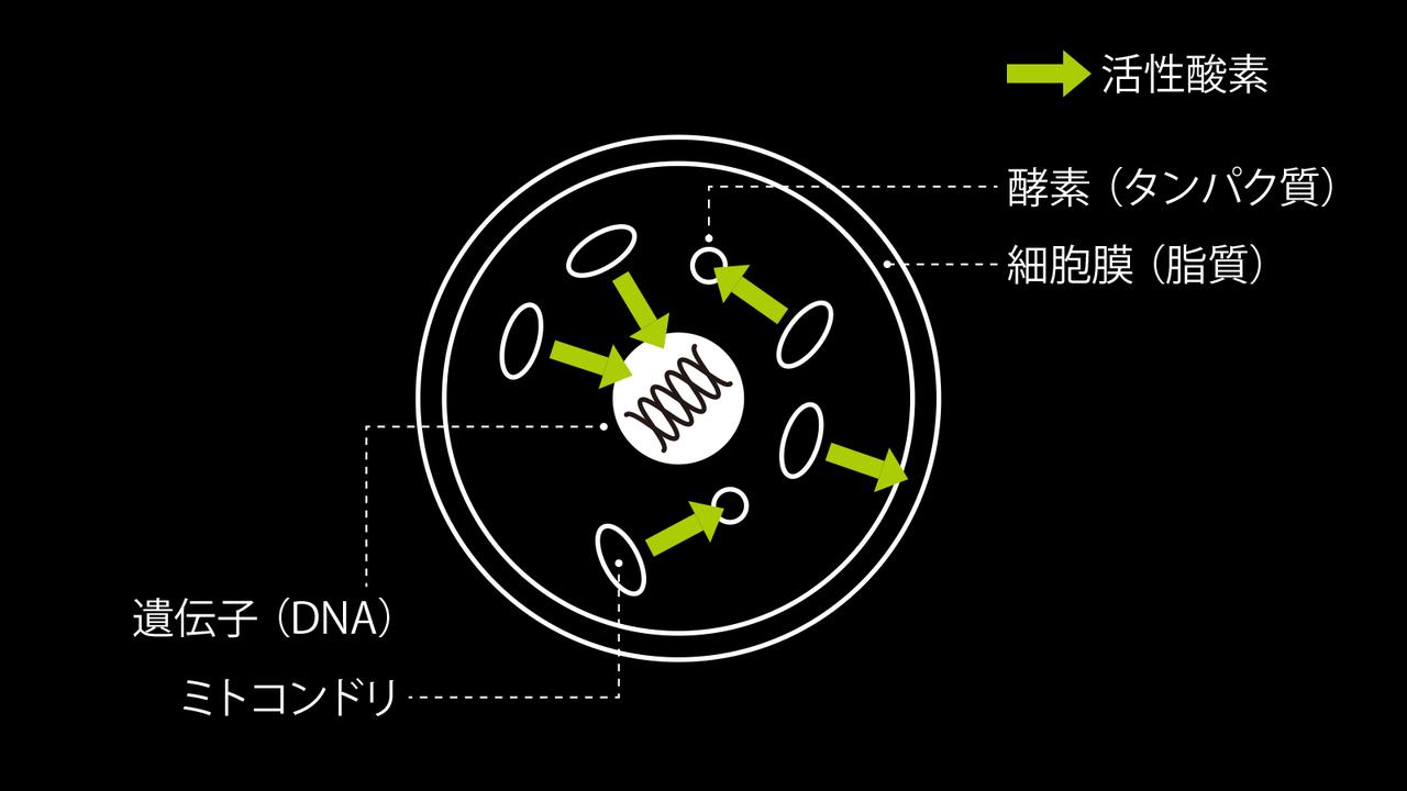 活性酸素は酸化で細胞を同時攻撃する。