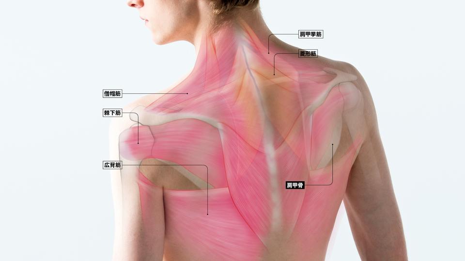 の 筋肉 肩