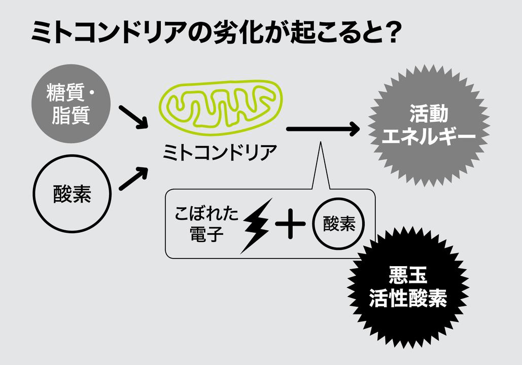 体内のミトコンドリアの動きを示した図