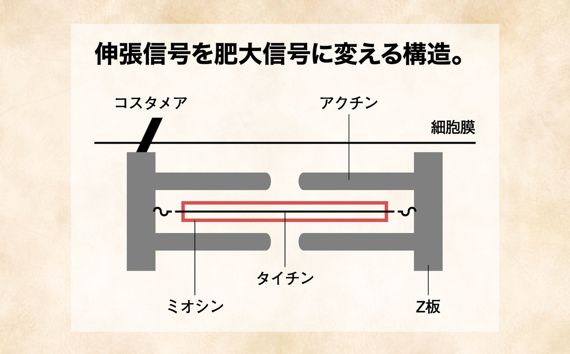 伸張信号を肥大信号に変える構造