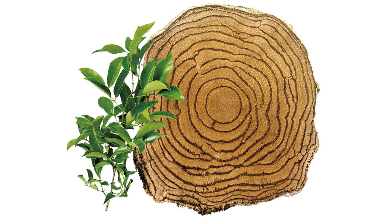 多年生植物サラシアの写真