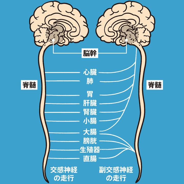 臓器はホメオスタシスを守るため、交感神経と副交感神経で二重に支配される