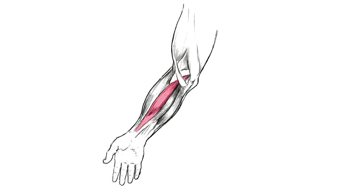 橈側手根屈筋は、手首の屈筋群のうち最も強い力を発揮する。