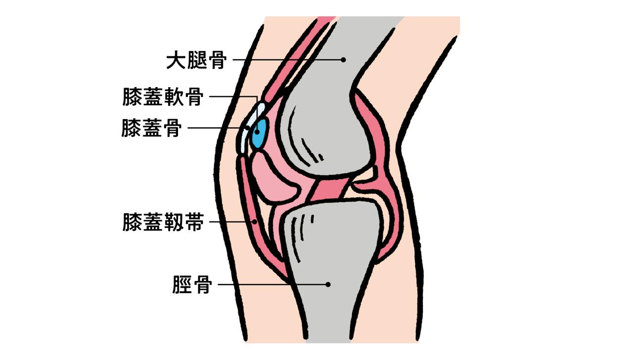 膝のお皿と脛骨を繫ぎ留めている膝蓋靱帯