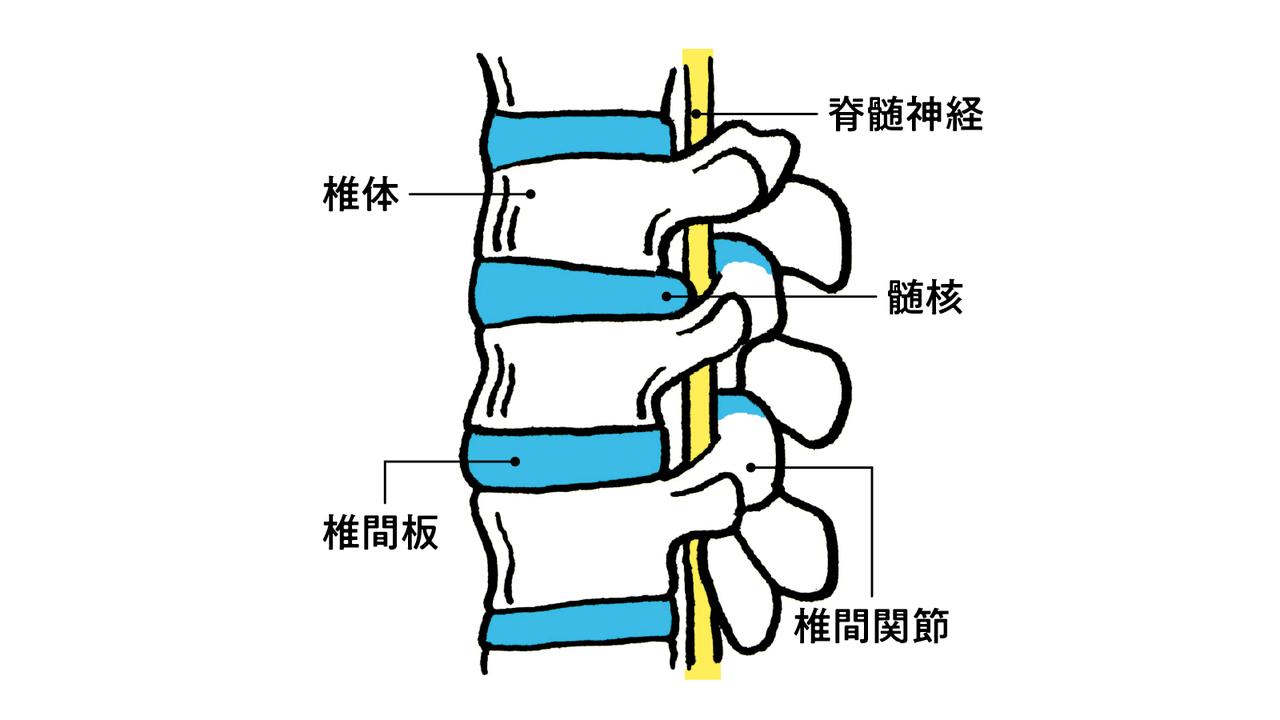 腰の骨は椎間板と一対の椎間関節によって連結されている