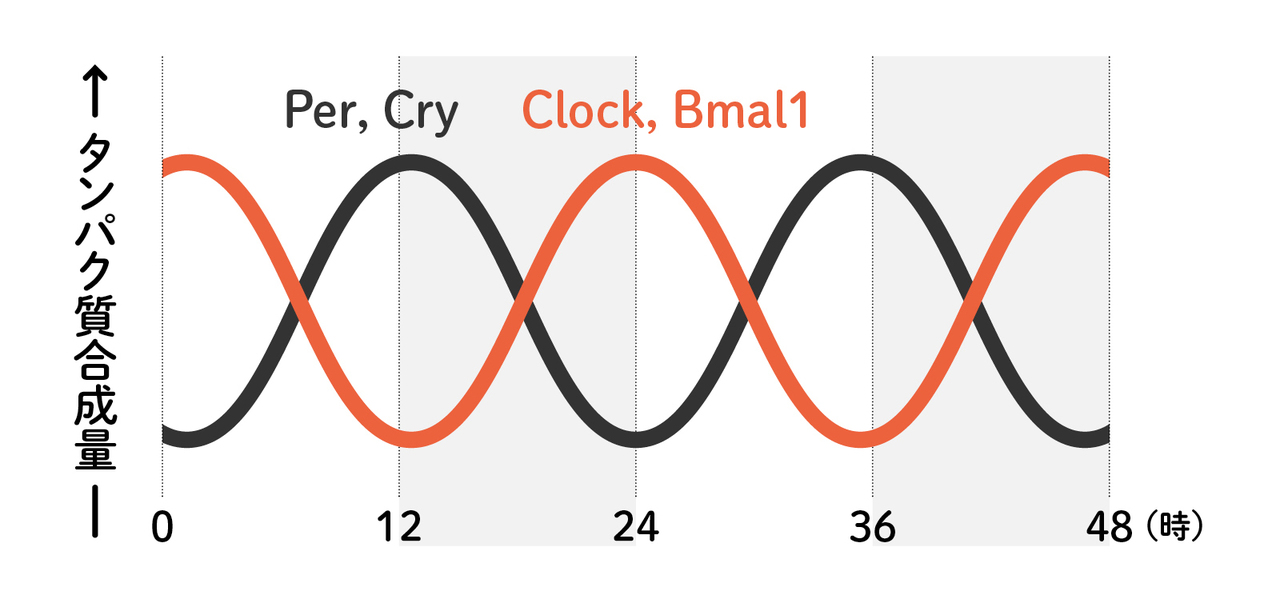 リズムを刻む時計遺伝子の増減イメージ