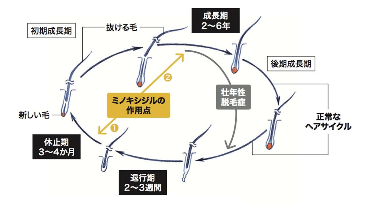 ヘアサイクルとミノキシジルの作用