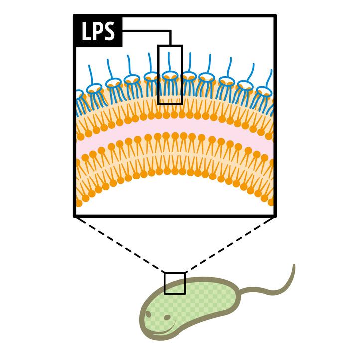 歯垢に潜む菌ジンジバリスの細胞壁に毒がある